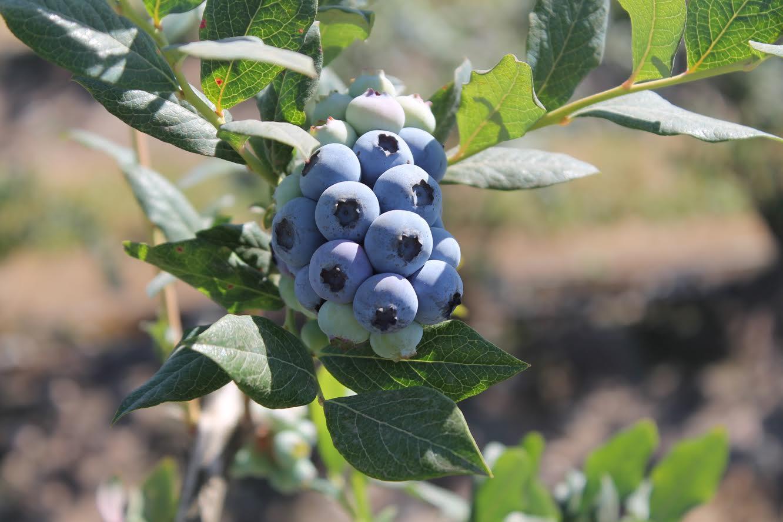 Maule Sur comenzó temporada de inspecciones fitosanitarias para la exportación de arándanos