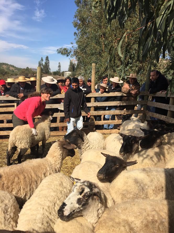 Mejoran calidad de los ovinos de crianza