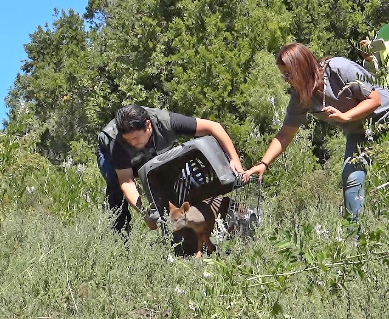 Exitosa reinserción de un pudú en precordillera de San Clemente