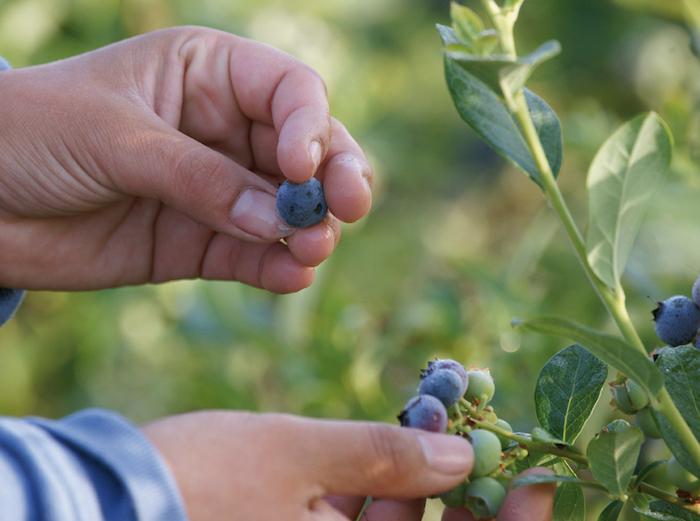 Exportación de arándanos aumenta un 6% en la Región del Maule, pero temporada termina con sabor amargo para industria