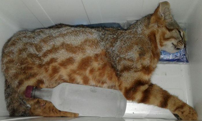 SAG verifica hallazgo de gato colo colo en precodillera del Maule tras 20 años de ausencia