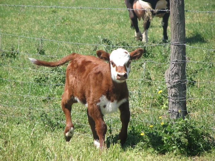 Pequeños ganaderos apuestan por la inseminación artificial