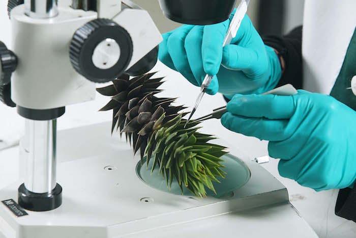 Expertos: hongos entre posibles causas de muerte de araucarias