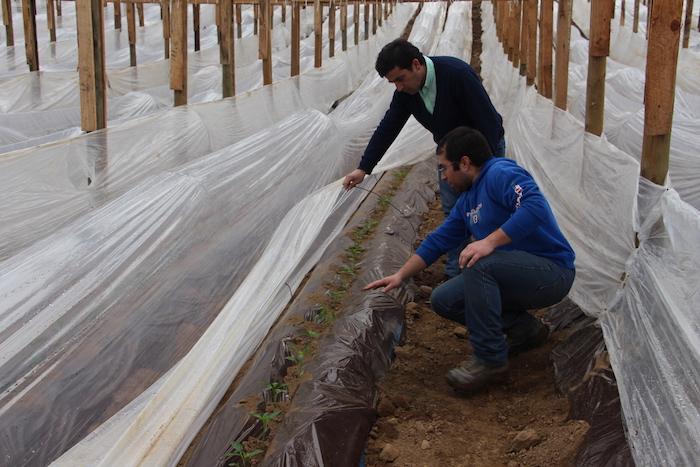 "Joven agricultor de Hualañé sigue cosechando éxitos con invernaderos de ""mi primer proyectode inversión"""