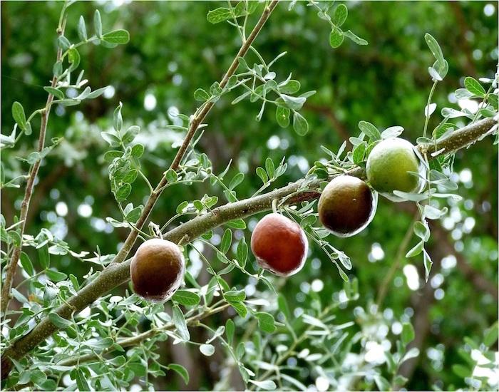 Frutos nativos como el chañar y el copao podrían prevenir la diabetes
