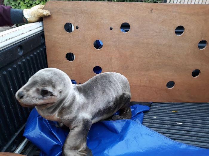 Sernapesca del Maule rescata cría de lobo marino varado en caleta Pelluhue