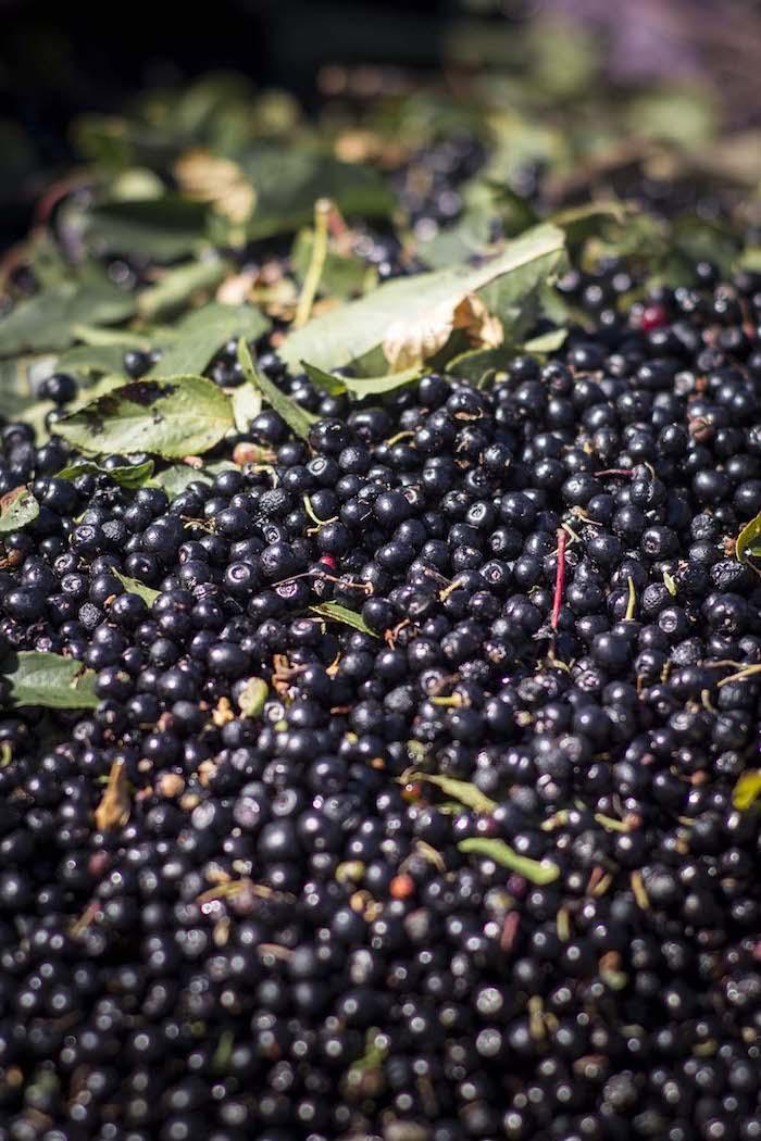 Maqui: el superalimento chileno que conquista la industria alimentaria
