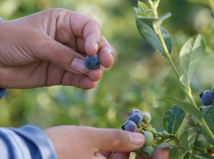 Investigación utilizará ozono para disminuir contaminación en berries