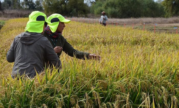 SAG evalúa nueva variedad de arroz para certificación de semillas