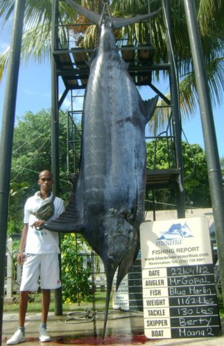 Massive blue marlin caught off the coast of Mauritius