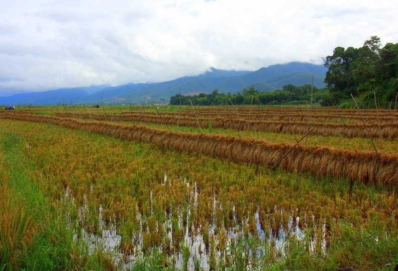 Rice fields grown along the Lake Inle