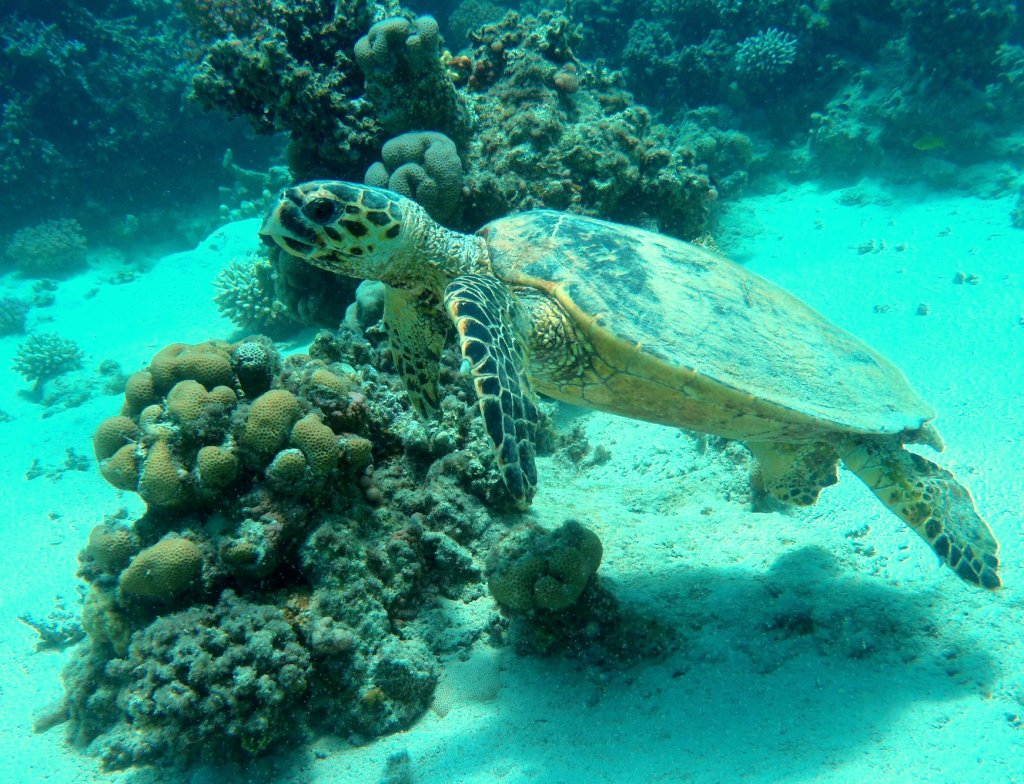 Sea turtles thrive in and around Marsa Alam