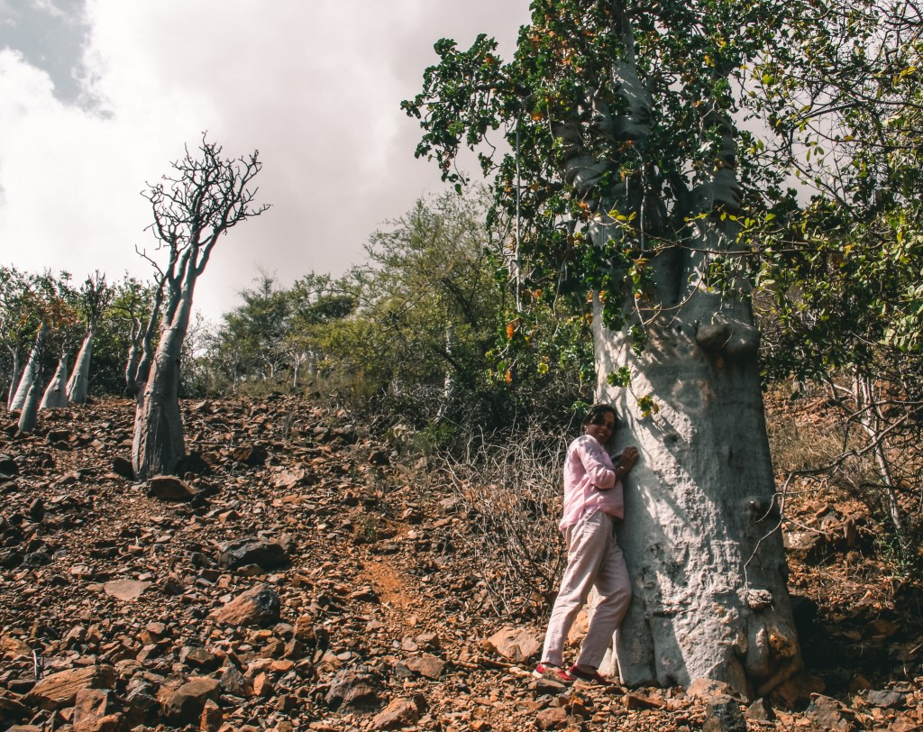 cucumber tree in wadi dirhur in socotra