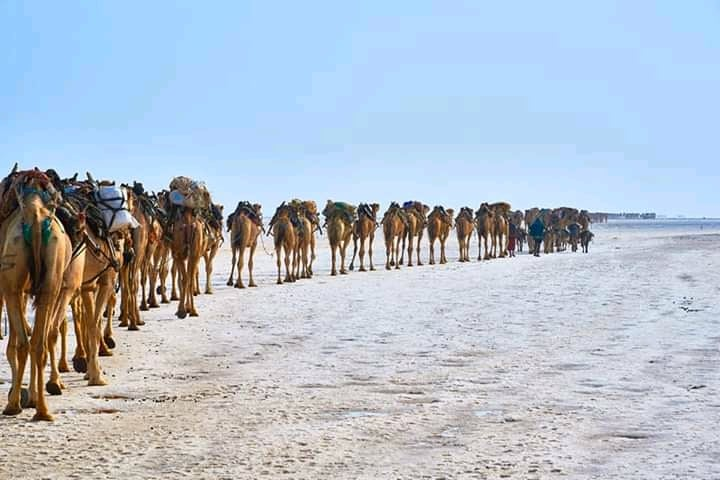 A camel caravan enters the salt mining area of the Danakil Depression.