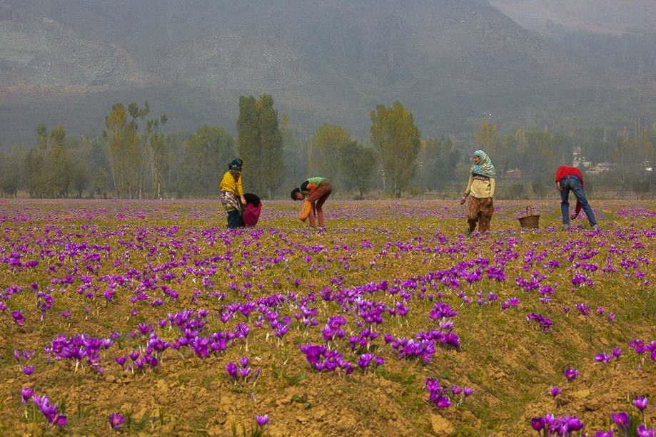 A haze filled flower field in pampore