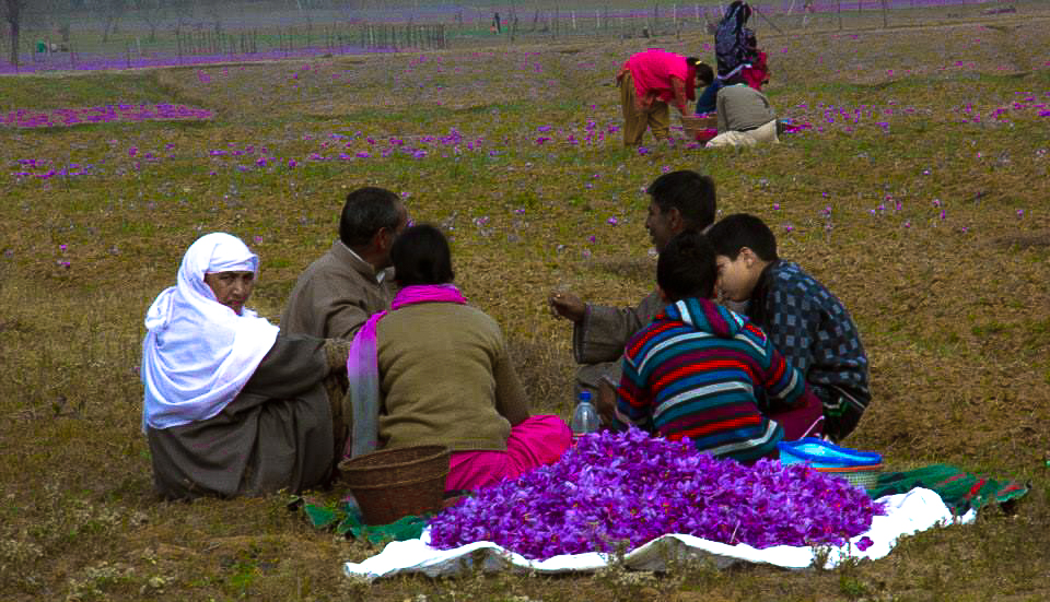 A family takes a break from harvesting saffron in Pampore