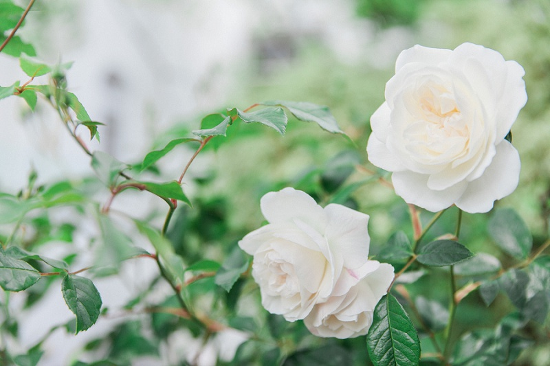 White English Garden Rose