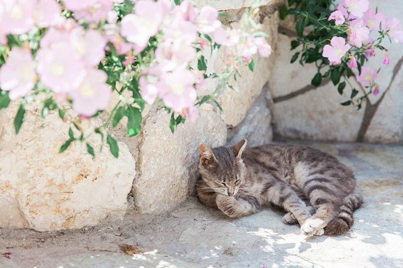 Cat Relaxing Under Pink Flowers in Agios Nikitas Lefkada