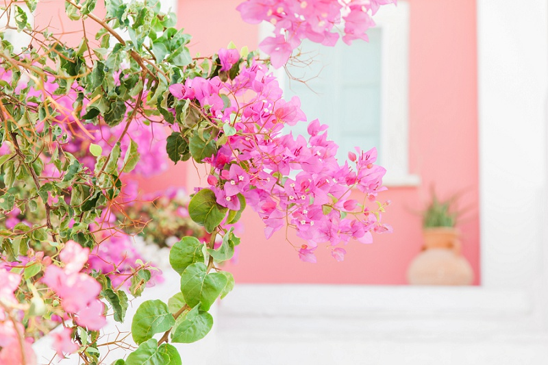 Pink Bougainvillea Against a Pink and White Wall in Oia Santorini