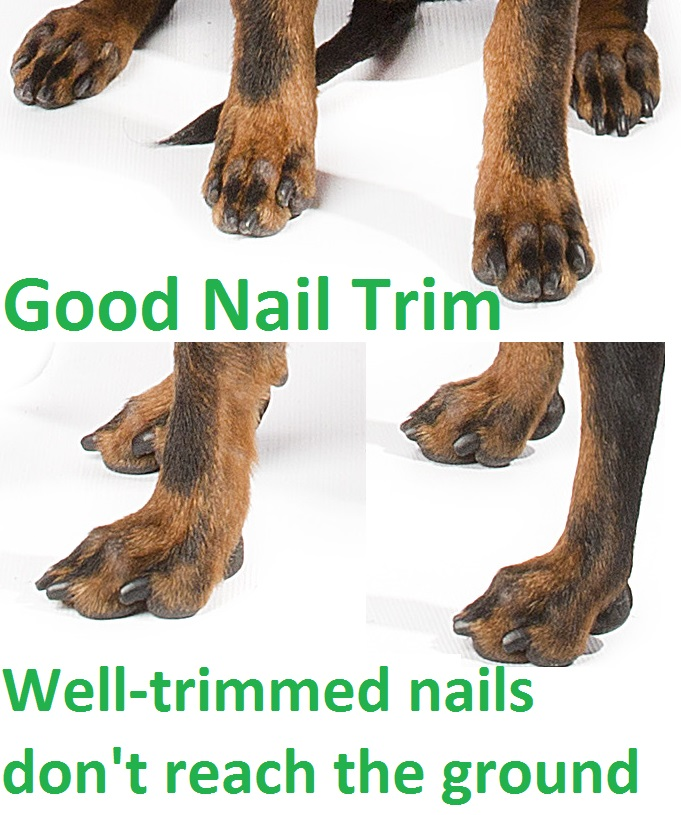 Nail Care | Maximal Manchester Terriers
