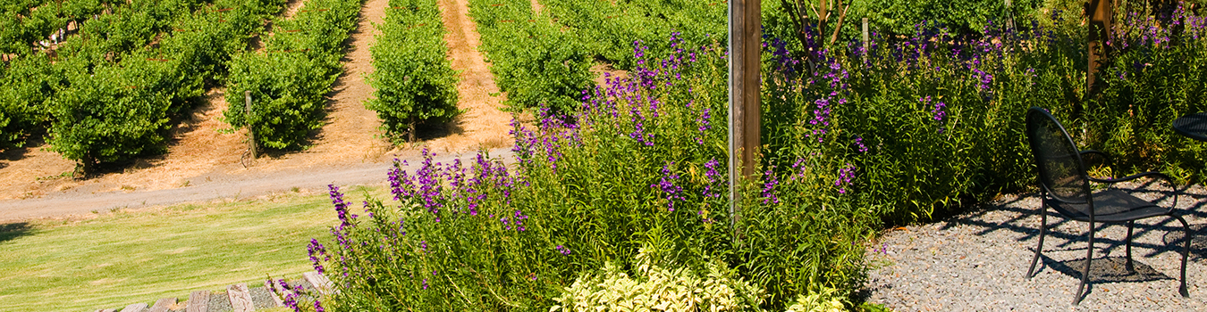An idyllic scene of a path beside a vineyard with wildflowers and shaded seating area in the closely cropped foreground.