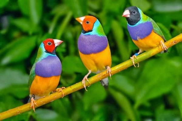 Bisnis Penangkaran Burung Kicau