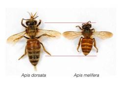 Lebah Hutan dan Lebah Ternak