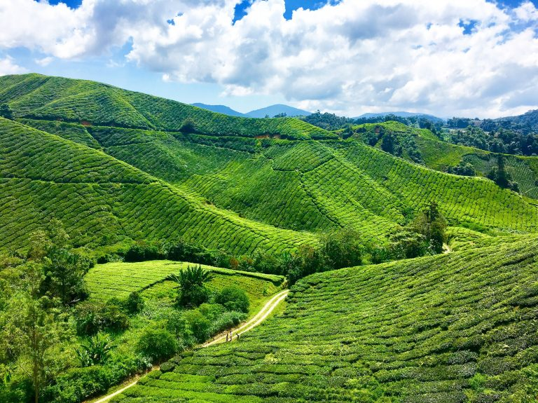 BOH Tea Plantation Cameron Highlands