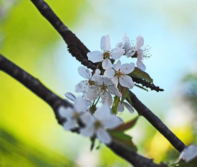 Cherry Blossom Blue Sky White Flowers