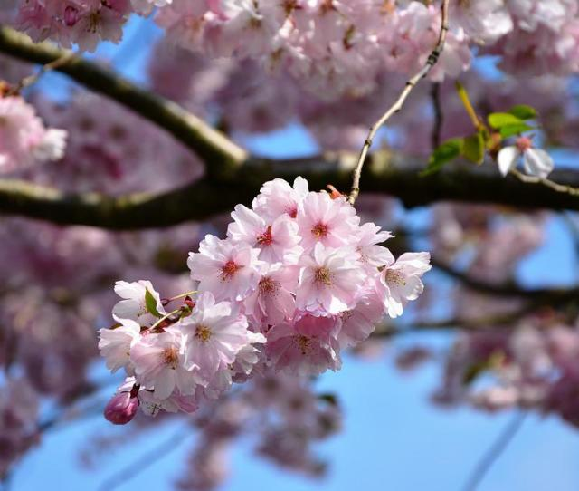 Cherry Blossoms Tree Blossoms Pink Flower