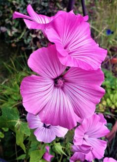 Free photo Flora Flower Malva Garden Plant Summer Flowers   Max Pixel Flower  Garden  Flora  Flowers  Summer  Plant  Malva