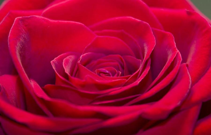 Free photo Flowers Closeup Rose Flower Petals Plant   Max Pixel Rose  Closeup  Flower  Flowers  Plant  Petals