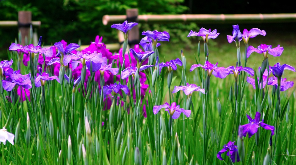 Free photo Flowers Iris Purple Bamboo Blue violet Red Purple   Max Pixel Iris  Flowers  Purple  Red Purple  Blue violet  Bamboo