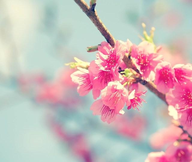 Sakura Cherry Blossom Flower Japanese Cherry Nature
