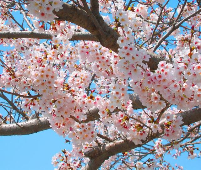 Cherry Blossoms Spring Pink Flowers Natural Plant