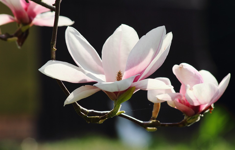Free photo Pink Tree Nature Flowers Spring Magnolia   Max Pixel Magnolia  Flowers  Spring  Nature  Pink  Tree