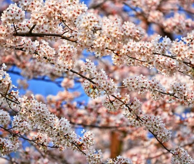 Cherry Blossom Flower Cherry Tree Sakura Japanese
