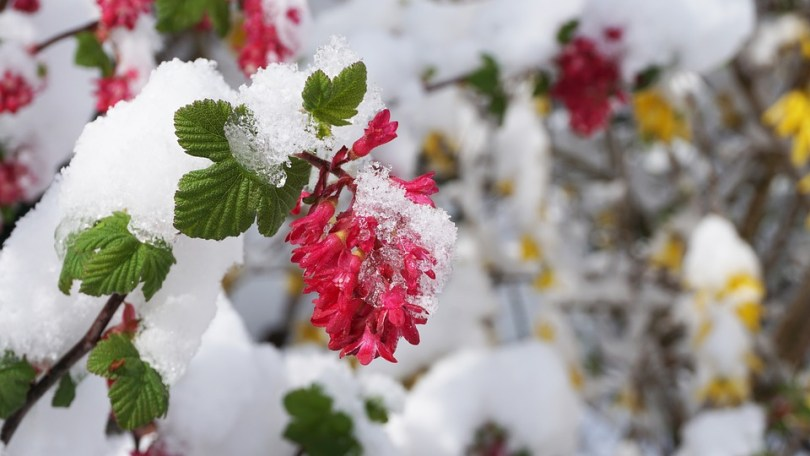 Free photo Snow Bud Winter Flowers Winter Blast White Spring   Max Pixel Winter  Spring  Flowers  Snow  Bud  White  Winter Blast