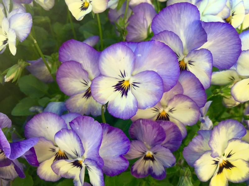 Free photo Viola Close Up Pansy Pansies Flowers Spring Macro   Max Pixel Flowers  Pansies  Close Up  Macro  Pansy  Spring  Viola