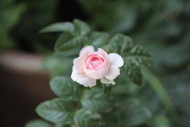 Free photo Porcelain Flowers Beautiful Flowers Porcelain Flower     Rose  Flower  Pink