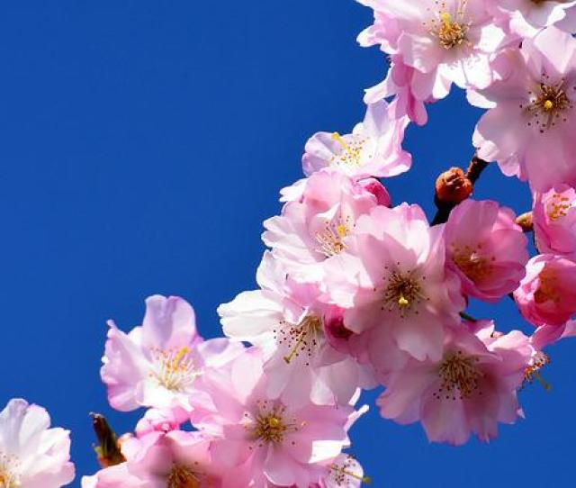 Cherry Blossom Ornamental Cherry