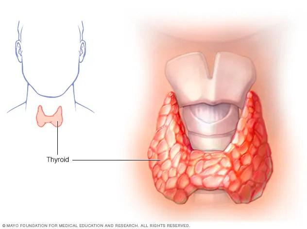 Thyroid gland showing larynx and trachea