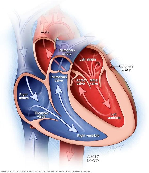 Cavidades y válvulas del corazón