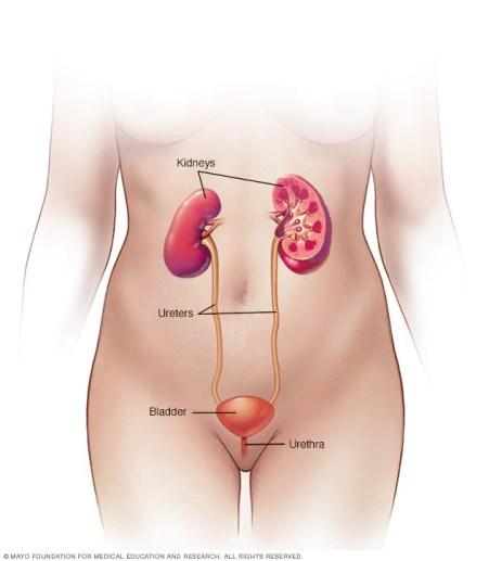 Aparato urinario femenino