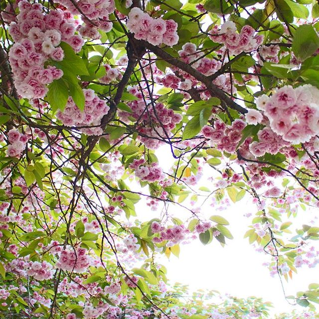 Pink blossoms and green leaves in Cambridge, England. beautiful tree image