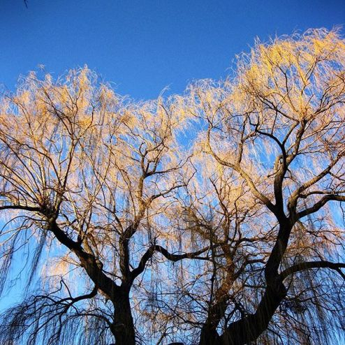 deciduous weeping willow in wintertime, toronto winter pictures, blue sky photography prints