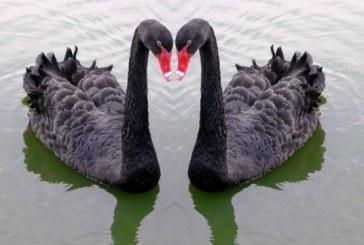 Cisnes Negros, Flamingos, Medusas y muchas novedades ofrecerá Acuario Mazatlán en 2016