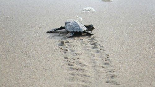 programa-anidacion-tortuga-marina-2