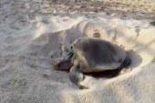 Tortuga golfina deposita huevos en playa mazatleca