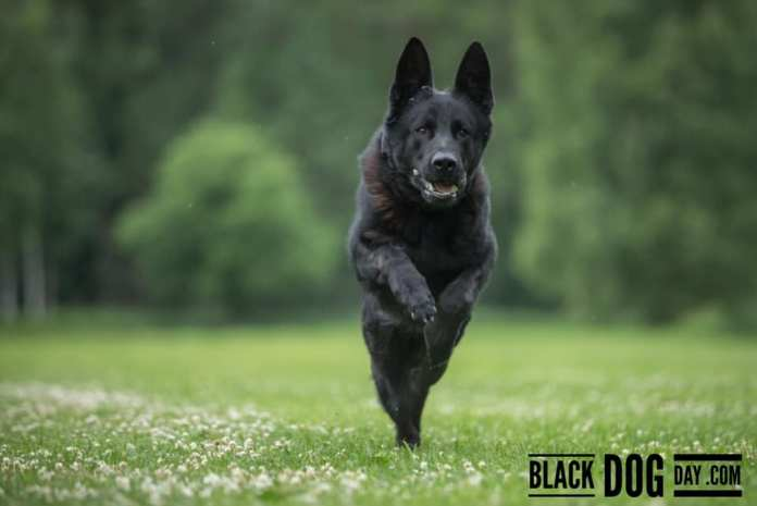 black dog usa